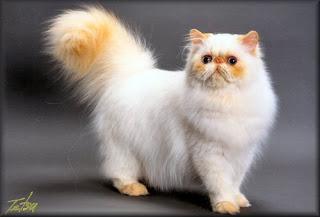 jenis warna kucing persia himalayan